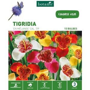 20 bulbes de Trigidia Mélange – Couleurs Variées 310288