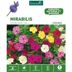3 bulbes de Mirabilis Jalapa en Mélange – Couleurs variées 310292