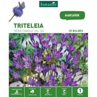 25 bulbes de Triteleia Brodiaea Reine Fabiola – Bleu 310293