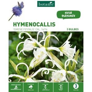 3 bulbes de Hymenocallis Ismene Festalis – Orange 310301