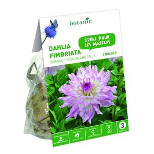 2 bulbes de Dahlia Crispa Botanic Rose/Blanc