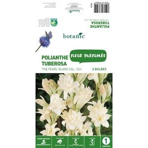 2 bulbes de Polianthe Tuberosa The Pearl - Blanc 310330