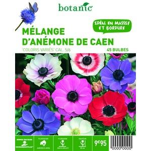 80 bulbes de Mélange d'Anémones de Caen en panier – Couleurs Variées