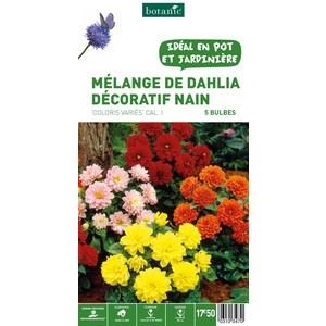 7 bulbes de Mélange de Dahlia Décoratif Nain en panier – Couleurs Variées 310347