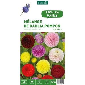 7 bulbes de Mélange de Dahlia Pompon en panier – Couleurs Variées 310351