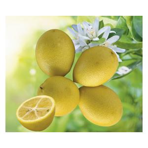 Limequat en pot de 3 L Bio 310408