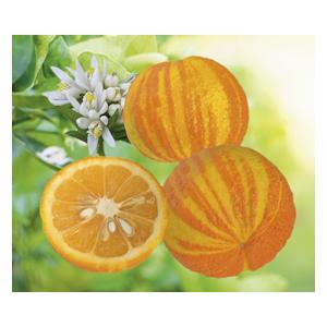 Oranger du Vatican en pot de 3 L Bio