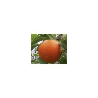 Tangelo Minneola en pot de 3 L Bio