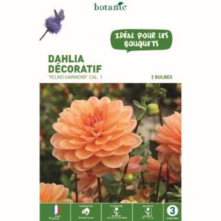 Dahlia décoratif Yelno Harmony abricot - 2 bulbes calibre 1
