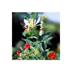 Lonicera Scentsation – Pot anis de 8L 364036