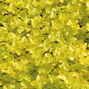 Herbe aux écus dorée godet 9x9 cm