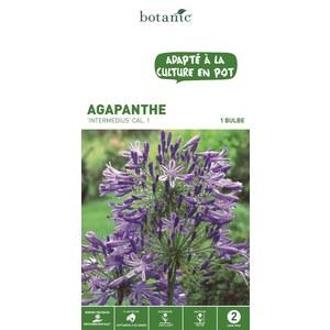 Bulbe d'Agapanthe Intermedius Bleu calibre 1 321870