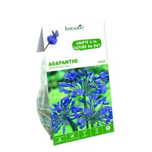 Bulbe Agapanthe Blue Velvet bleu calibre 1 321872