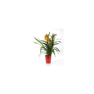 Orchidée Cymbidium avec cache-pot. Le pot de 14 cm