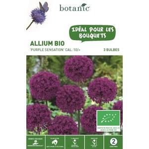 Allium Purple Sensation BIO