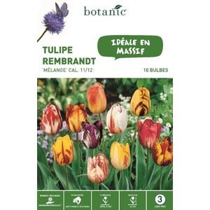 Bulbe tulipe rembrandt en mélange multicolore botanic® x 10 334674