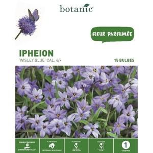 Bulbe ipheion wisley bleu botanic® x 15 335028