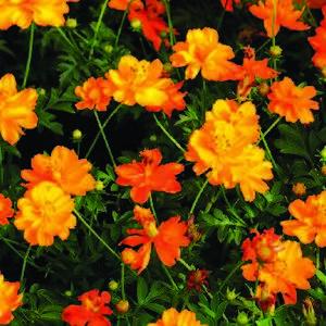 Cosmos orange et jaune