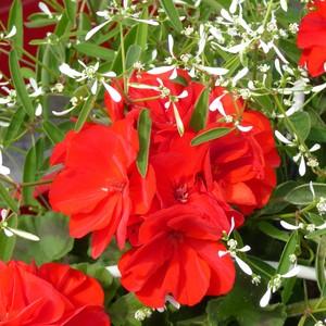 Géranium zonale + euphorbes blanche. La jardinière de 40 cm 335217