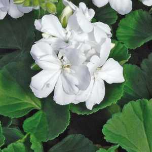 Géranium zonale blanc. Le pot de 12 x 12 cm 335256