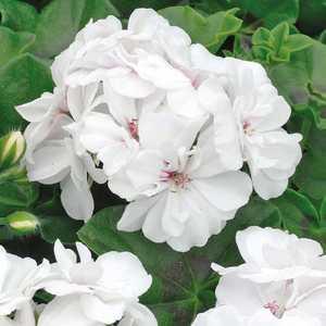 Géranium lierre double blanc. Le pot de 12 x 12 cm 335377