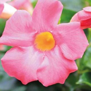 DIPLADENIA SUNDAVILLE ROSE STAR