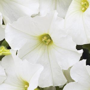 Pétunia retombant blanc. Le pack de 6 plants