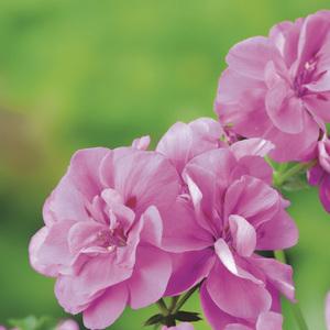 Géranium lierre double rose. Le pack de 6 plants 339127