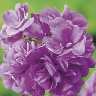 Géranium lierre double mauve. Le pack de 6 plants 339130