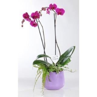 Composition phalaenopsis