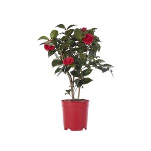 Camélia Japonica coloris varié en pot de 4 L