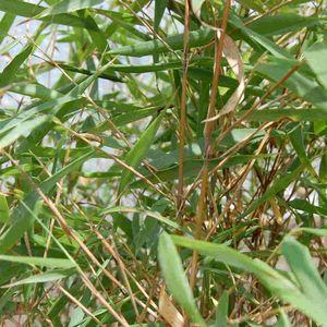 Bambou Fargesia Asian Wonder 5L 364491