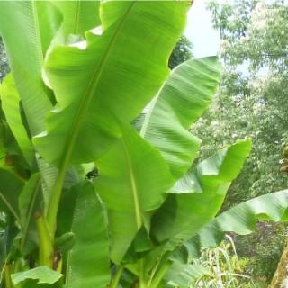 Bananier géant. Le pot de 5 litres