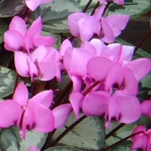 Cyclamen coum vivace. Le pot de 1 litre 367644