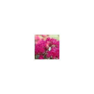 LAGERSTROEMIA INDICA CHARMS ®  FUSCHIA D'ETE ®.Le pot de 3L