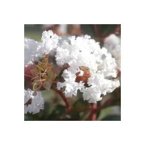 LAGERSTROEMIA INDICA CHARMS ®  NEIGE D'ETE ®.Le pot de 3L