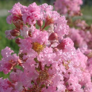 LAGERSTROEMIA INDICA CHARMS ®  ROSE THE.Le pot de 3L