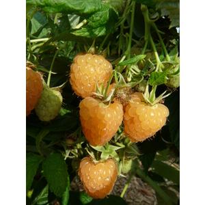 Framboisier Autumn Amber biologique en pot de 2 L