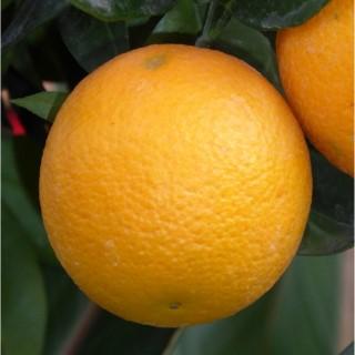 Oranger 40/60 en pot carré couleur de 5 L 372168
