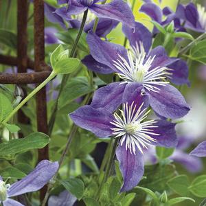 Clématite Arabella botanic® - Pot de 3L recyclé 372212