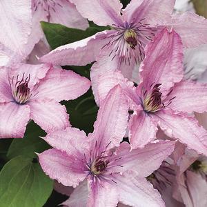 Clématite Hagley Hybride botanic® - Pot de 3L recyclé 372217