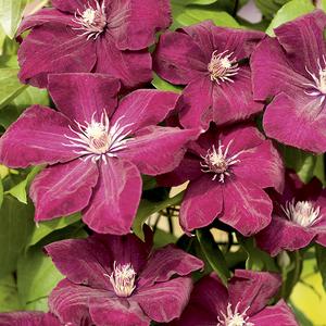 Clématite Rouge Cardinal botanic® - Pot de 3L recyclé 372223