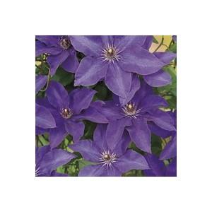 Clématite The President botanic® - Pot de 3L recyclé 372226