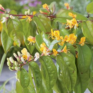 Lonicera Henryi Copper Beauty® botanic® 375043