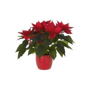 Poinsettia ou Etoile de Noël avec son cache pot Ø 13 cm
