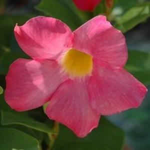 Dipladénia buisson. La jardinière de 25 cm