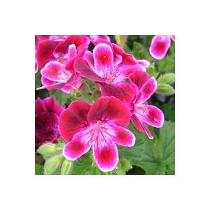 Géranium pensée à petites fleurs. Le pot de 17x17 cm