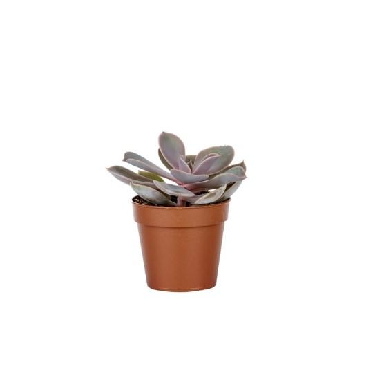 3 x cactus plantes en pots-assortiment cactées variétés