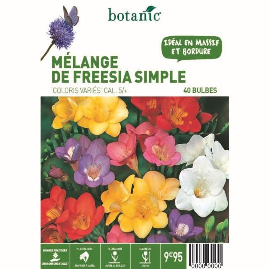 80 bulbes de Mélange de Freesia Simple en panier – Couleurs Variées