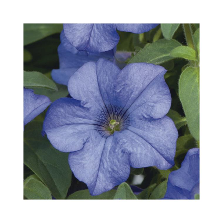 Pétunia retombant bleu. Le pack de 6 plants